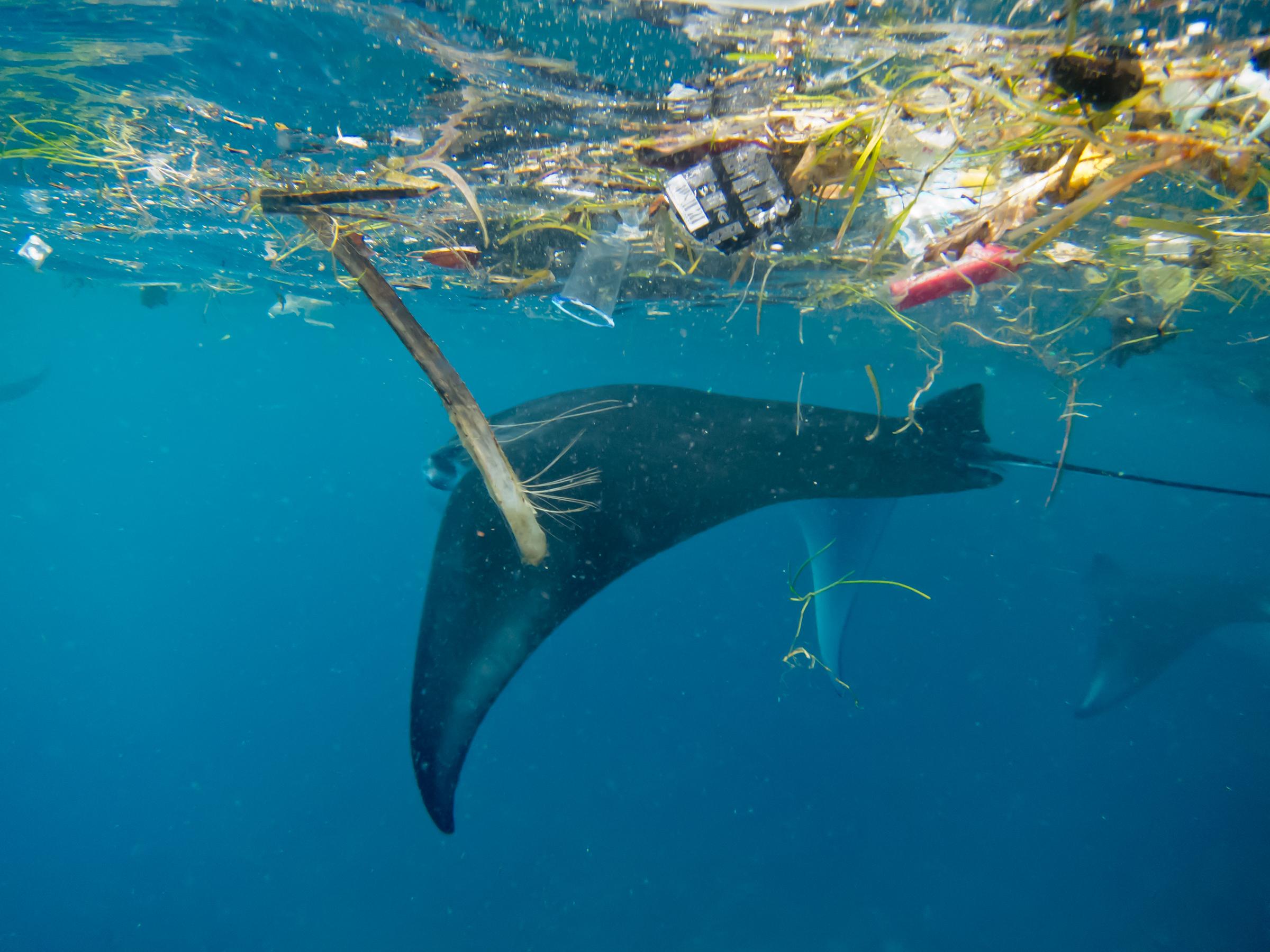 Estudio señala que casi la mitad de las especies de rayas mobula están amenazadas por los microplásticos. Foto: Fundación Megafauna Marina