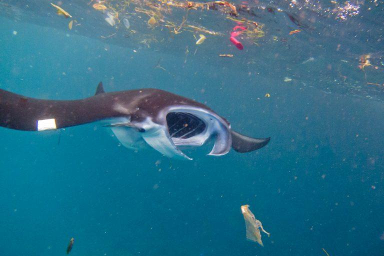 Estudio señala que casi la mitad de las especies de rayas mobula están amenazadas por los microplásticos. Foto: Elitza Germanov / Fundación Megafauna Marina.