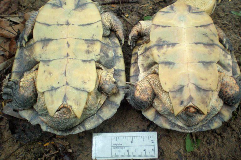 La tortuga carranchina ya estaba clasificada como en peligro de extinción, pero este estudio ha permitido conocer que el riesgo es mucho mayor. Foto: Germán Forero / WCS Colombia