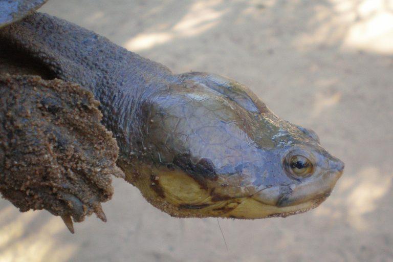 Uno de los problemas de la tortuga carranchina es el alto nivel de endogamia, es decir, la reproducción entre parientes cercanos. Foto: Luis Rojas.