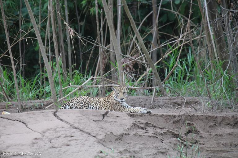 Jaguar. Foto: Rhett A. Butler