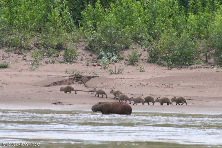 Capibaras. Foto: Rhett A. Butler