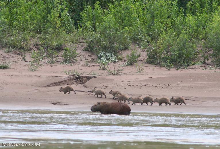 Capibaras en Tambopata. Foto: Rhett A. Butler