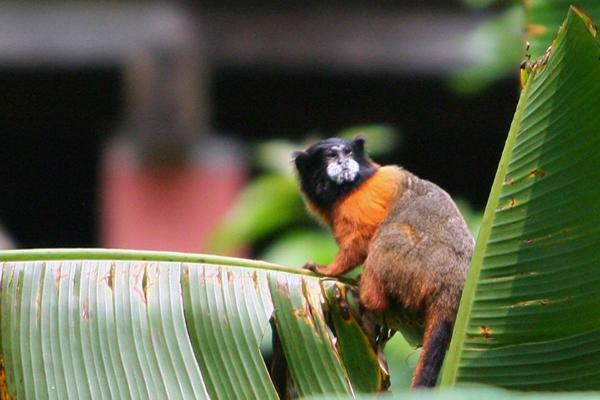 Tamarino de manto dorado (Saguinus tripartitus)