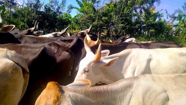 Traslado de un hato ganadero hacia un rancho en las inmediaciones de una de las entradas irregulares en Benemérito de Las Américas. Foto: Rodrigo Soberanes.