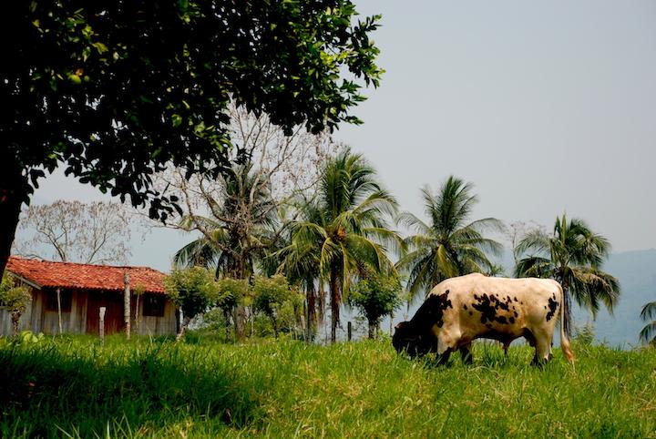 Pequeño hato ganadero dentro de la Selva Lacandona. Foto: Cortesía Ecosur.