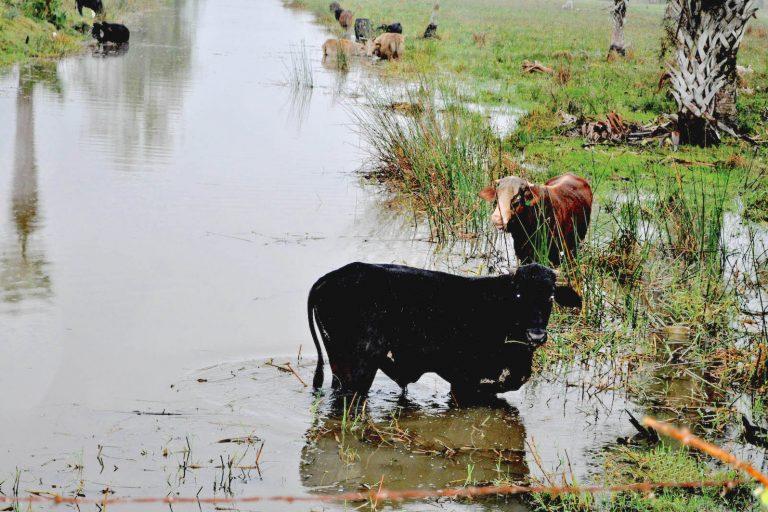 """Las vacas son llevadas a zonas de selva inundable de alta vulnerabilidad ecológica. Es parte de la llamada """"campesinización"""" de la ganadería. Foto: Cortesía Ecosur."""