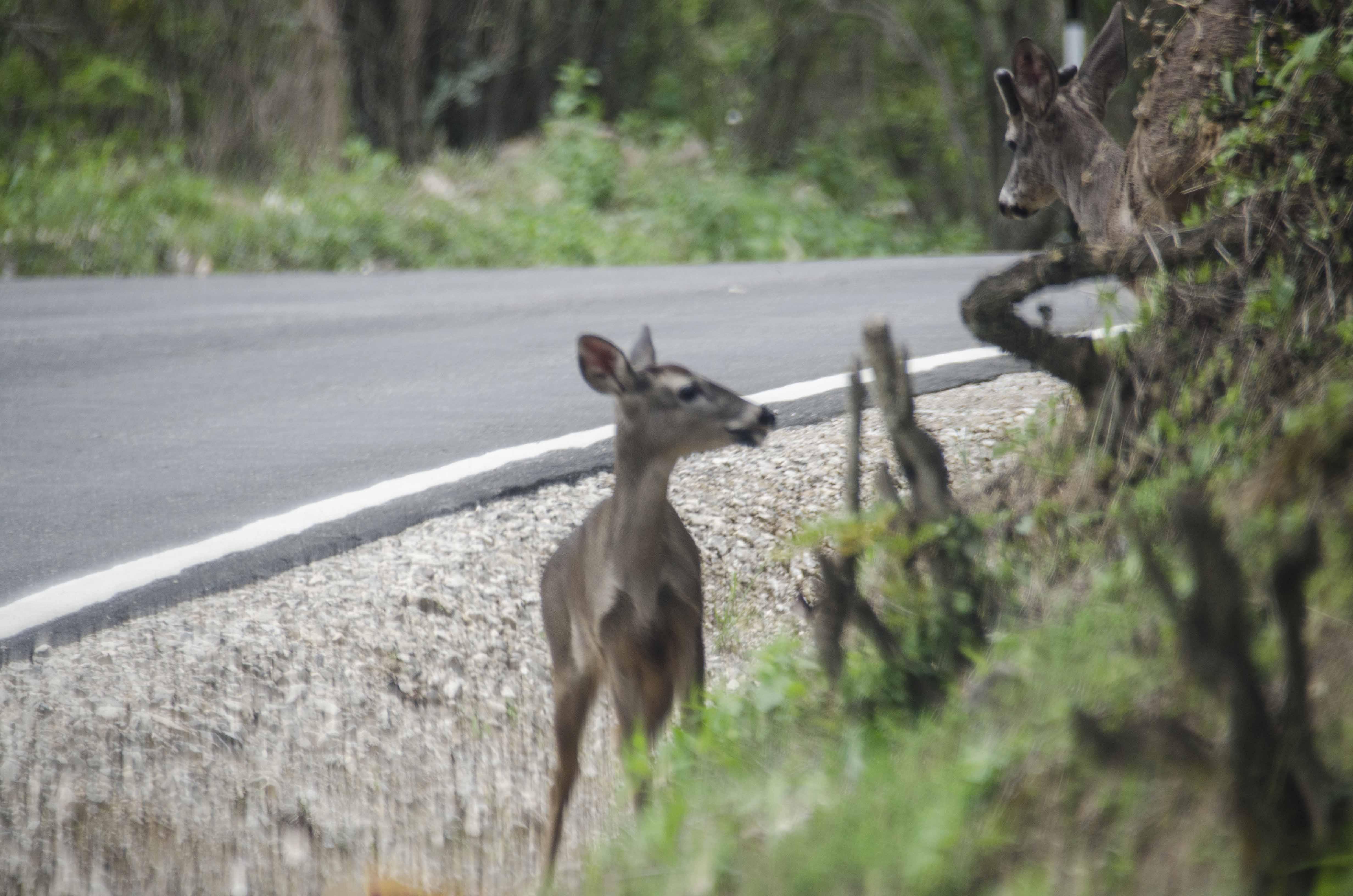 La fauna de la ACP Milpuj La Heredad está expuesta a los atropellos al cruzar la carretera que pasa cerca al área de conservación. Foto: Pedro Heredia / Wagner Guzmán