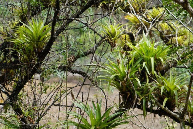 Bromelias y otras especies de flora se encuentran en los bosques del ACP Milpuj La Heredad. Foto: Pedro Heredia / Wagner Guzmán.