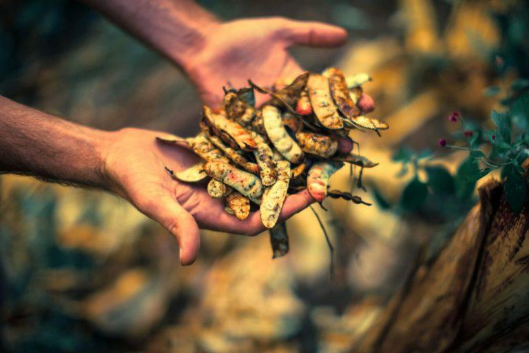 La tara es una especie nativa del bosque seco. Foto: ACP Milpuj La Heredad