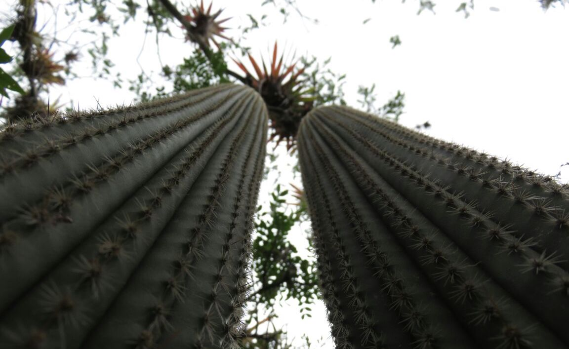 Cáctus típico de los bosques estacionalmente secos, en Amazonas. Foto: Pedro Heredia / Wagner Guzmán.