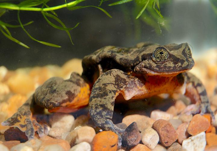 Los machos de la rana salvaje Sehuencas miden 56,7 milímetros. Foto: Arturo Muñoz.