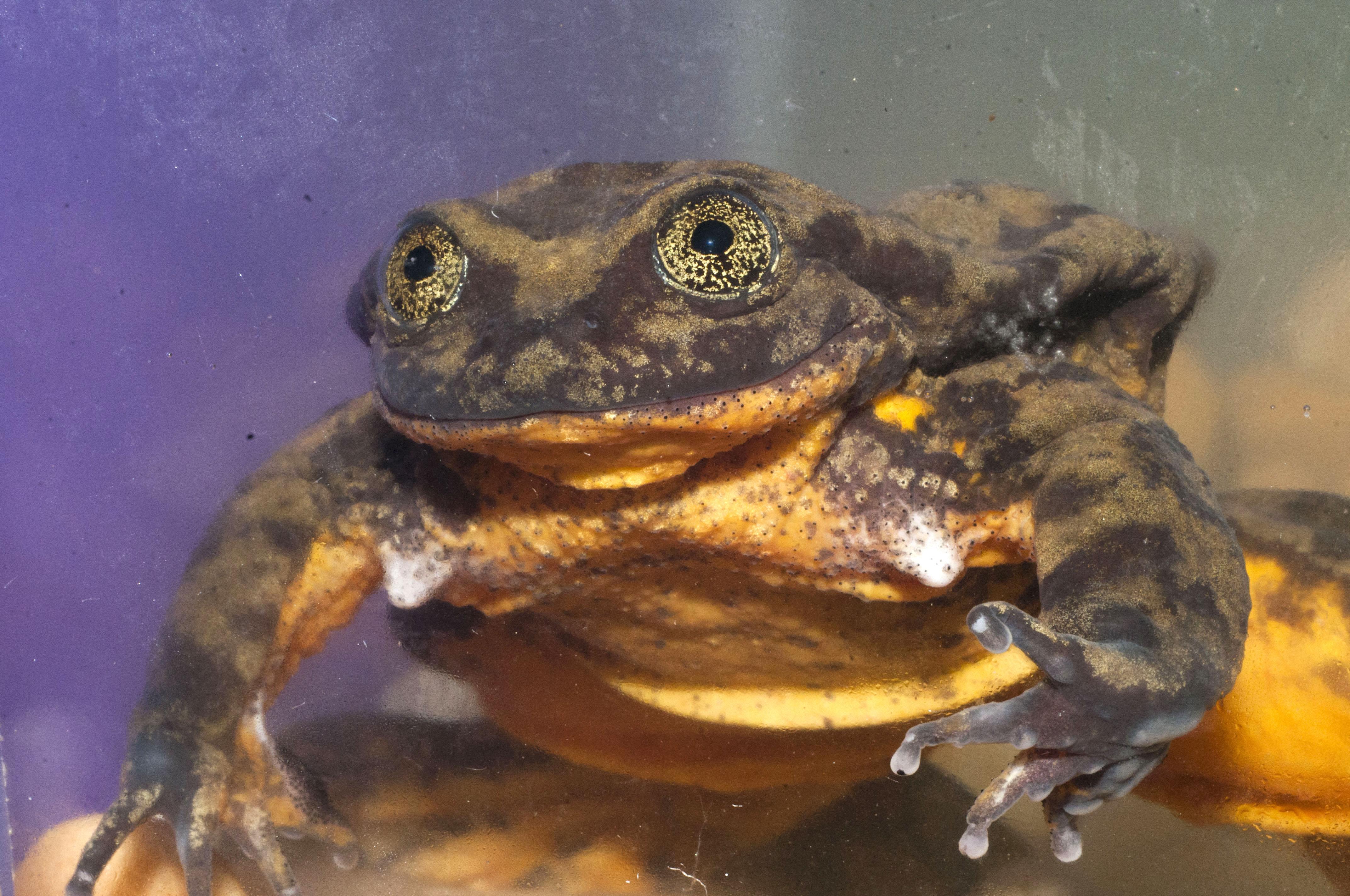La rana de agua Sehuencas en el acuario donde vive hace ya diez años. Foto: Arturo Muñoz.