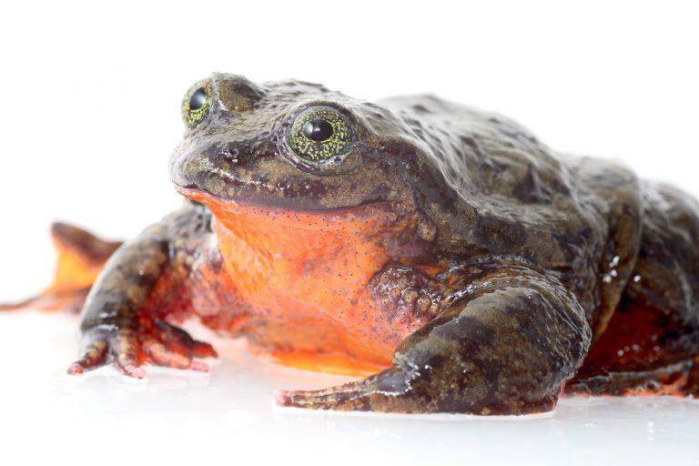 Este es el Telmatobius yuracare. Foto: Matías Careaga.