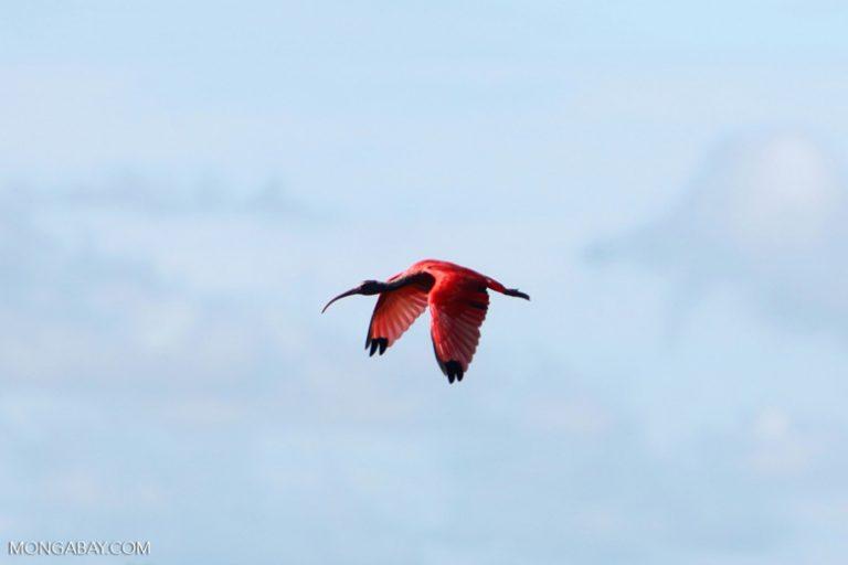 Aves en Colombia: El corocoro rojo vive en los llanos orientales de Colombia. Su color se hace más intenso a medida que envejecen. Foto: Rhett A. Butler