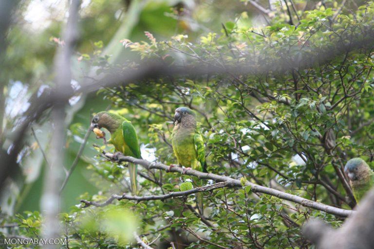 Aves en Colombia: El perico cara sucia (Eupsittula pertinax) es un ave muy inteligente, autóctona del norte de Sudamérica. Foto: Rhett A. Butler
