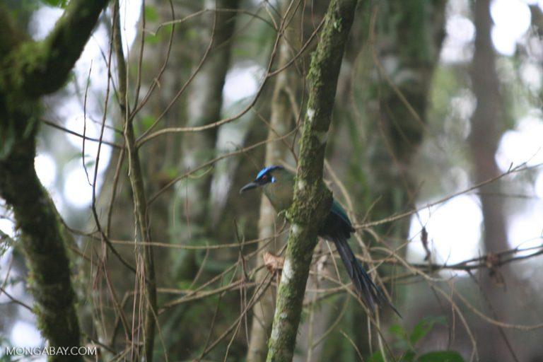 Aves en Colombia: El pájaro péndulo tiene una peculiar cola en forma de raquetas. Hay hasta 6 subespecies en Colombia. Foto: Rhett A. Butler