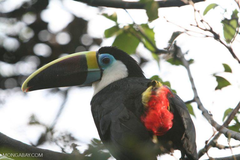 Aves en Colombia: El tucán pechiblanco (Ramphastos tucanus) habita en la Amazonía. Foto: Rhett A. Butler