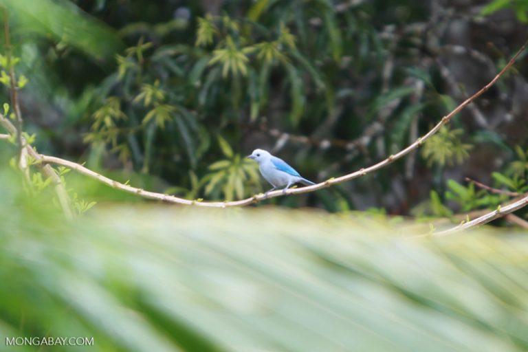 Aves en Colombia: La tángara azulada (Thraupis episcopus) tiene has 15 subespecies, de acuerdo a las variaciones de su color. Foto: Rhett A. Butler