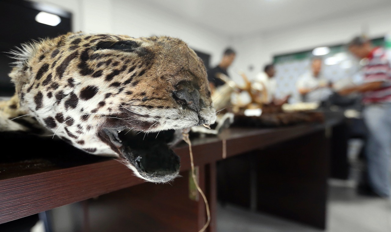 Según autoridades bolivianas, lo incautado implica que alrededor de 54 animales fueron extraídos ilegalmente de las reservas valiosas que hay en el país. Foto: El Deber.