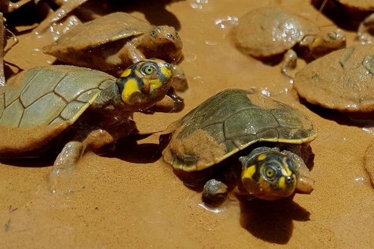 Luego de la eclosión de los huevos, entre noviembre y diciembre, los responsables del proyecto esperan entre 15 a 45 días, hasta que las tortugas tengan el caparazón más duro y el ombligo cicatrizado, para recién liberarlas al río. Foto: Ministerio de Medio Ambiente y Agua