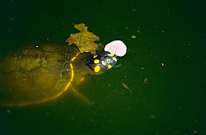 Podocnemis unifilis juvenil en el agua. Foto Bernard Dupont, publicada en Flickr bajo licencia (CC BY-SA 2.0)