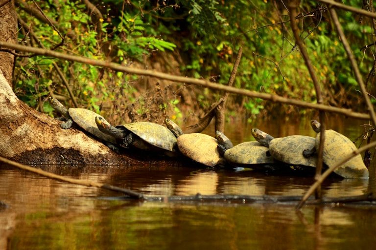 Las petas de río suelen asolearse sobre troncos caídos y playas con diferentes sustratos a las cuales migra en la época de reproducción en la estación más seca del año (agosto-octubre). Foto: Eduardo Franco Berton