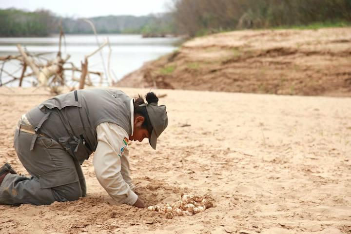 Una de las guardaparques de la Reserva EBB colecta huevos de peta de río para llevarlos a las playas del proyecto. Foto: Proyecto Quelonio, Reserva EBB.
