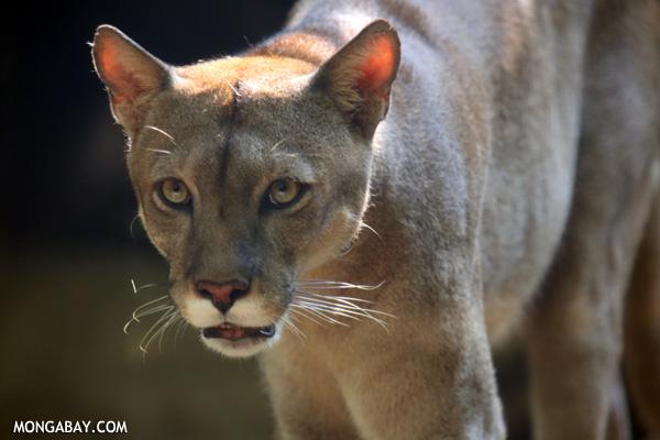 Grandes félidos: El puma (Puma concolor), también conocido como león de montaña o cougar. Foto: Rhett A. Butler / Mongabay