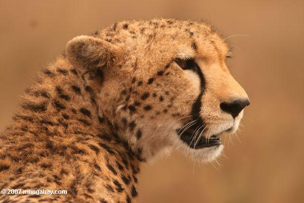 Grandes félidos: Un guepardo (Acinonyx jubatus) en Kenia. Foto: Rhett A. Butler / Mongabay