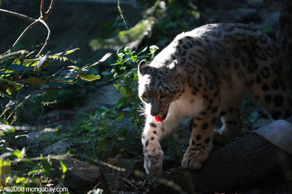 Grandes félidos: Un leopardo de las nieves (Panthera uncia). Foto: Rhett A. Butler / Mongabay