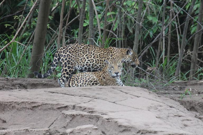 Fotos de Tambopata: Dos jaguares (Panthera onca) en Perú. Foto: Rhett A. Butler / Mongabay