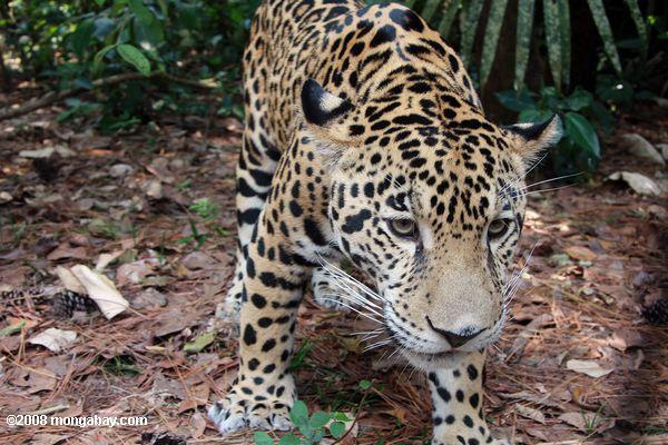 Grandes félidos: Un jaguar (Panthera onca) en Belice. Foto: Rhett A. Butler / Mongabay