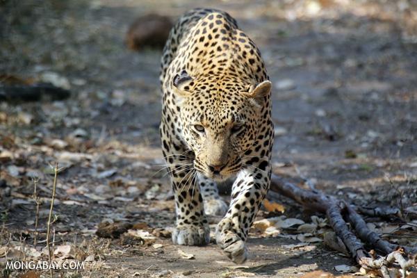 Grandes félidos: Un leopardo (Panthera pardus) en Sudáfrica. Foto: Rhett A. Butler / Mongabay