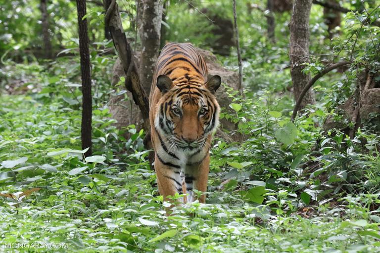 Grandes félidos: Tigre (Panthera tigris) en Camboya. Foto: Rhett A. Butler / Mongabay