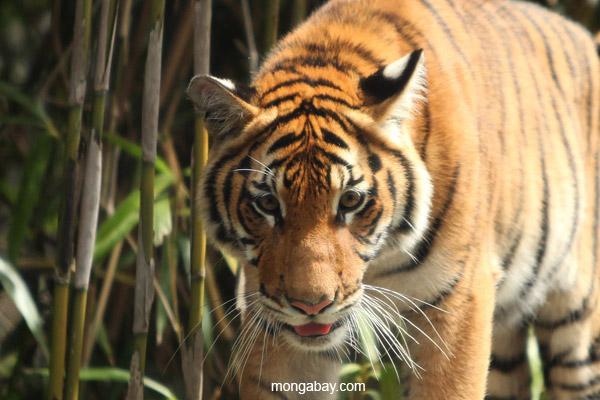 Grandes félidos: Tigre (Panthera tigris) en Malasia. Foto: Rhett A. Butler / Mongabay