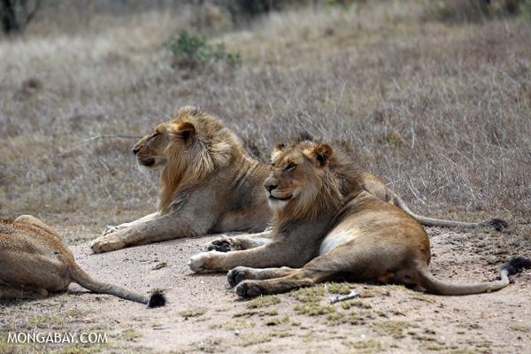 Grandes félidos: León (Panthera leo) en Kruger, Sudáfrica. Foto: Rhett A. Butler / Mongabay