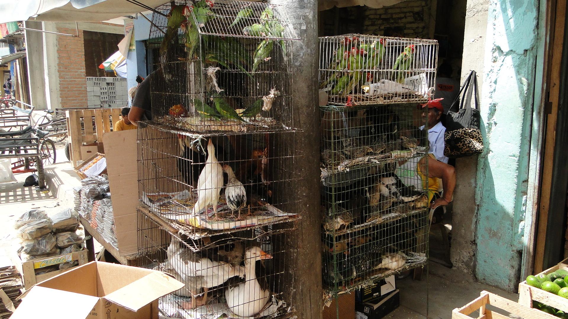 En jaulas en pésimas condiciones se mantienen a los animales que son capturados en la selva peruana. Foto: WCS.