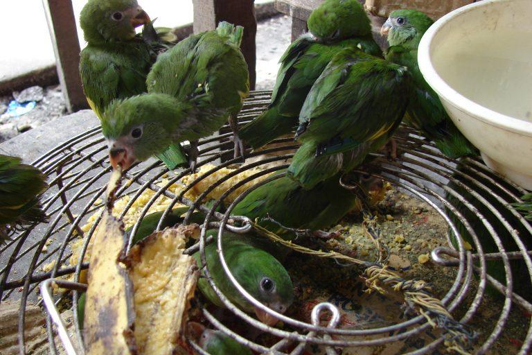 El pihuicho de ala amarilla ha sido la especies que más se ha comercializado en el mercado ilegal en los últimos 15 años. Foto: WCS.