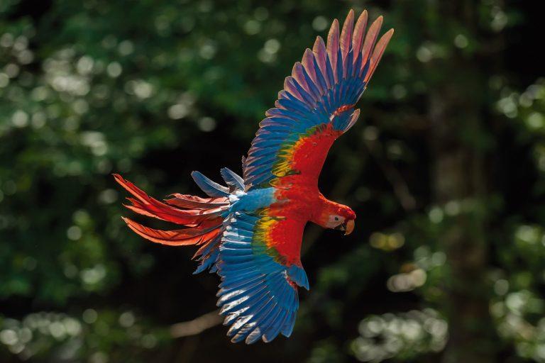 Los guacamayos son especies más buscadas por los traficantes de aves. Foto: WCS