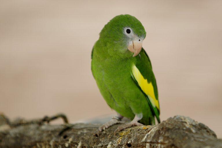 El pihuicho de ala amarilla es la especies más comercializada en el mercado ilegal peruano. Foto: WCS
