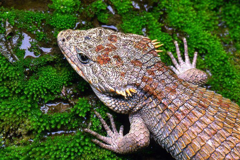La pérdida acelerada de su hábitat es la principal amenaza que enfrentan los dragoncitos. En la imagen un ejemplar de Abronia lythochila . Foto: Peter Heimes.