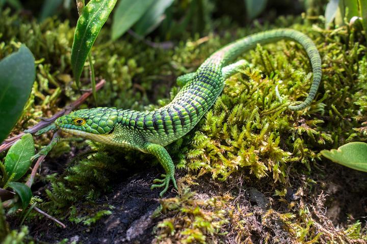 Los dragoncitos o escorpiones arborícolas, como se les conoce comúnmente, son lagartos insectívoros que habitan naturalmente en los árboles de los bosques de México, Guatemala, Honduras y El Salvador. Foto: Raul Gómez Trejo.