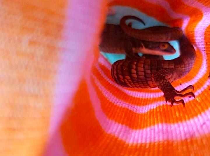 Algunos traficantes suelen esconder a las pequeña s lagartijas mexicanas dentro de calcetines. Foto: PROFEPA.