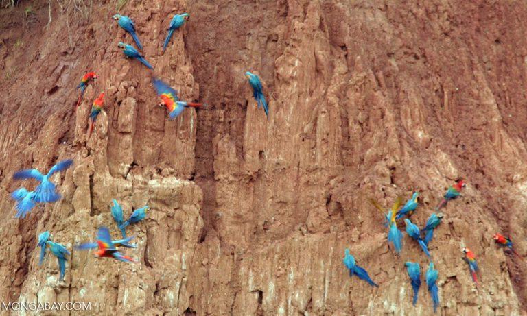 Fotos de Tambopata: Bandadas de guacamayos azulamarillo (Ara ararauna) y guacamayos macao (Ara macao) se alimentan de arcilla. Foto: Rhett A. Butler