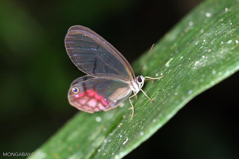 Fotos de Tambopata: La Cithaerias merolina es una especie reconocida por sus alas transparentes. Foto: Rhett A. Butler