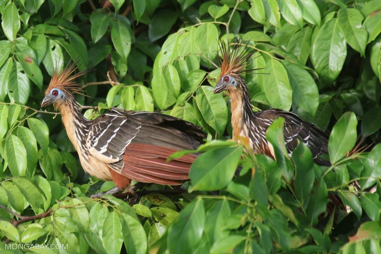 Fotos de Tambopata: El shansho (Opisthocomus hoazin) es un ave muy extendida en la Amazonía. Tiene un olor parecido al estiércol, por lo que es conocida en Colombia como pava hedionda. Foto: Rhett A. Butler