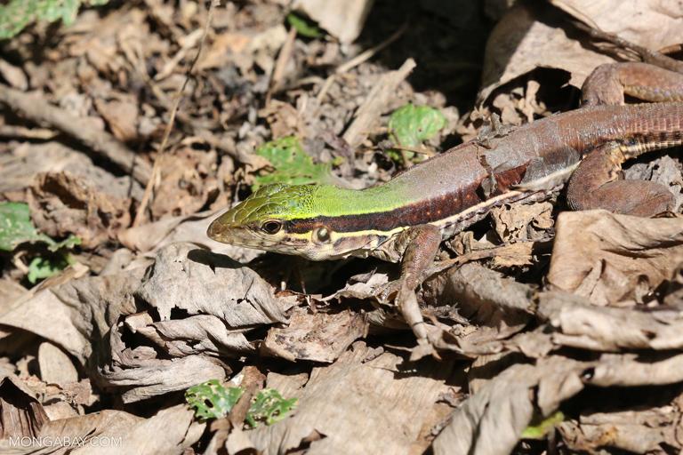 Fotos de Tambopata: El lagarto verde (Ameiva ameiva) es un activo cazador de insectos y pequeñas lagartijas. Foto: Rhett A. Butler