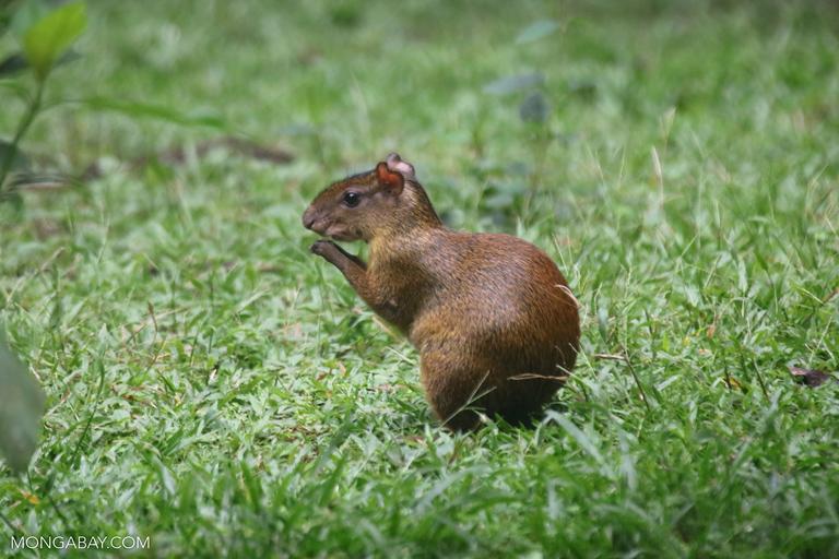 Fotos de Tambopata: Los agutíes pueden llegar a pesar 6 kilos. Foto: Rhett A. Butler