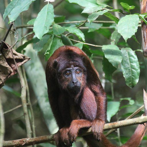 Fotos de Tambopata: El mono aullador rojo (Alouatta seniculus) tiene una vocalización muy fuerte, considerada entre las más potentes del mundo animal. Foto: Rhett A. Butler